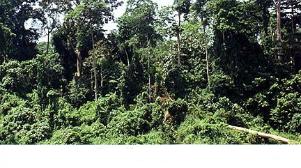 Copyright Margaret Deefholts. The lush jungle of Taman Negara National Park.