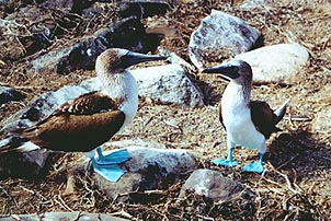Blue-footed Boobies spending some quality time. Copyright: Paul Ross.