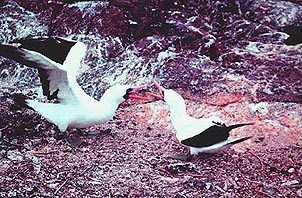 Masked Boobies frolic on the Galapagos. Copyright: Paul Ross.
